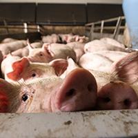 2019年下半年豬肉要漲價啦!適當增養有好處!